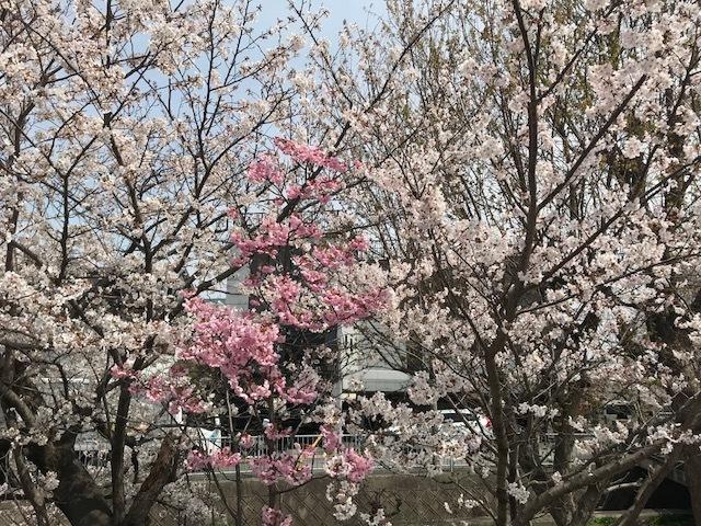 2018桜10