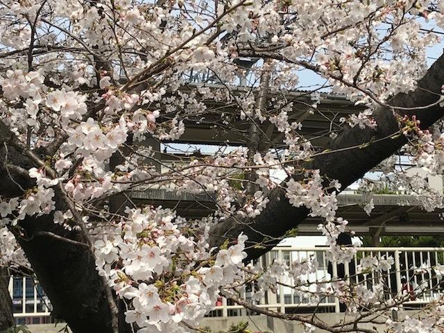 2018桜8