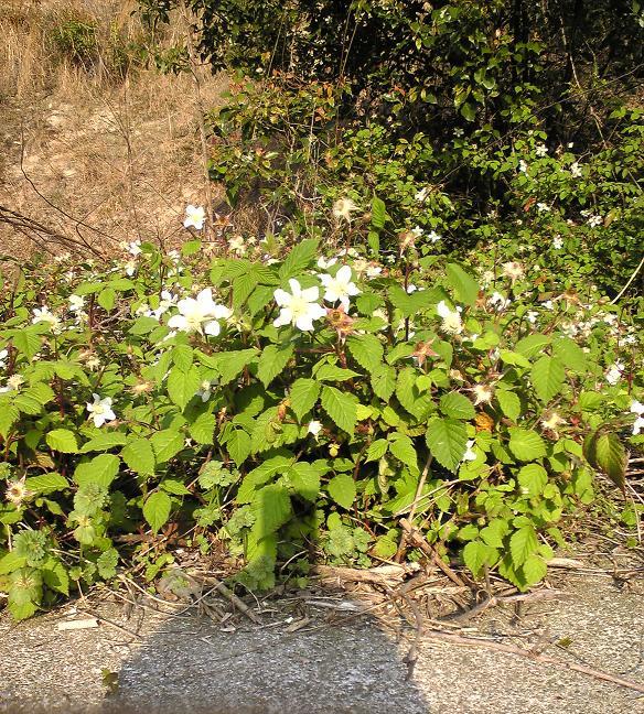 bush-berry.png