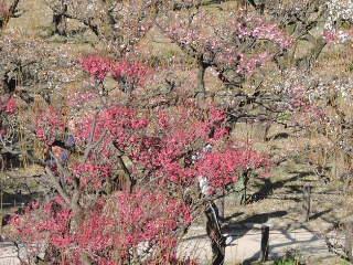 ③大阪城の梅林全景