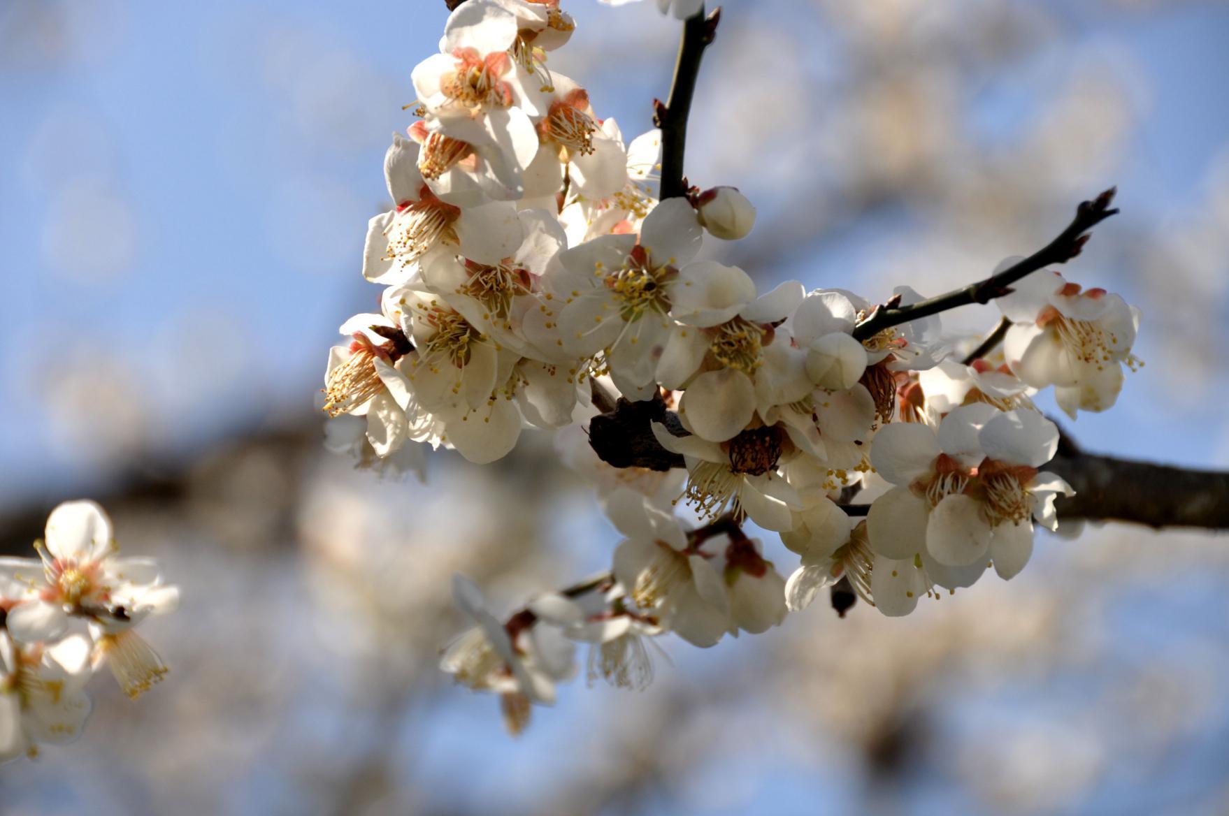 ⑥咲き誇る賀名生(あのう)の白梅