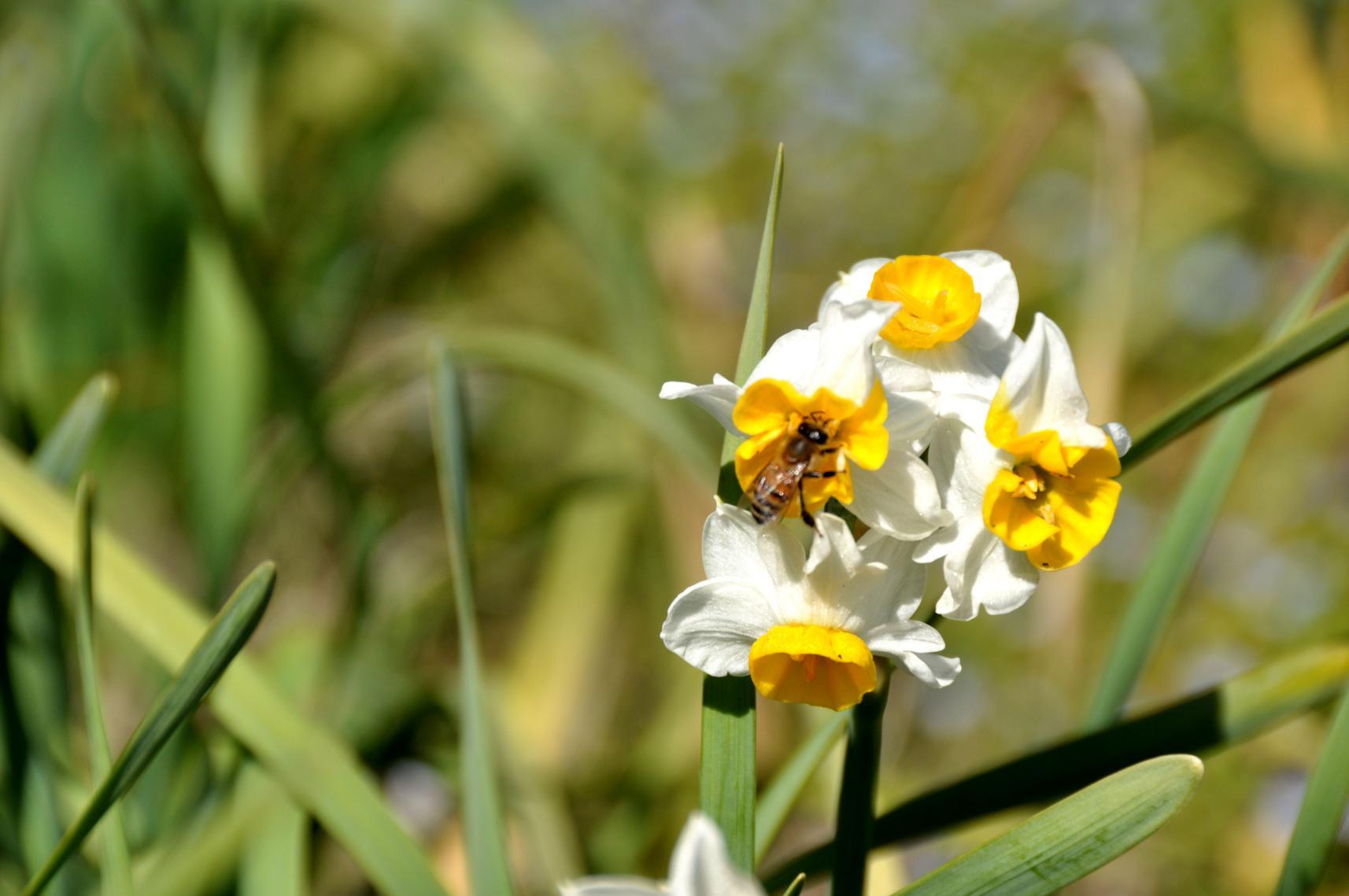 ⑦水仙の密を吸う蜂