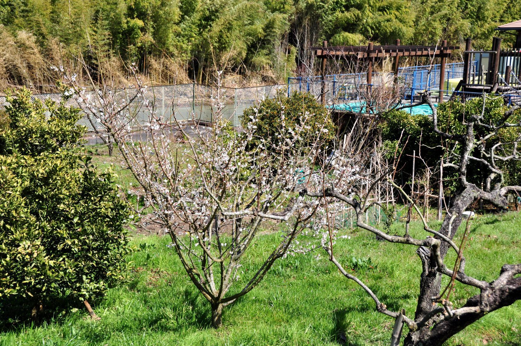 ⑧咲きだした賀名生の梅