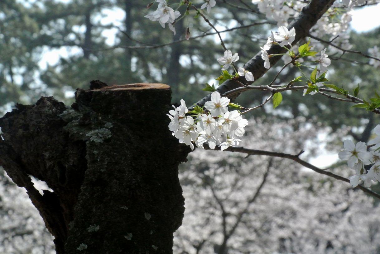 ①幹から生える桜の一枝