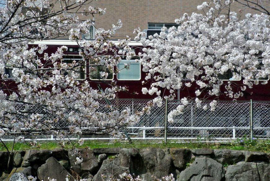 ②満開の桜の中を行く阪急電車