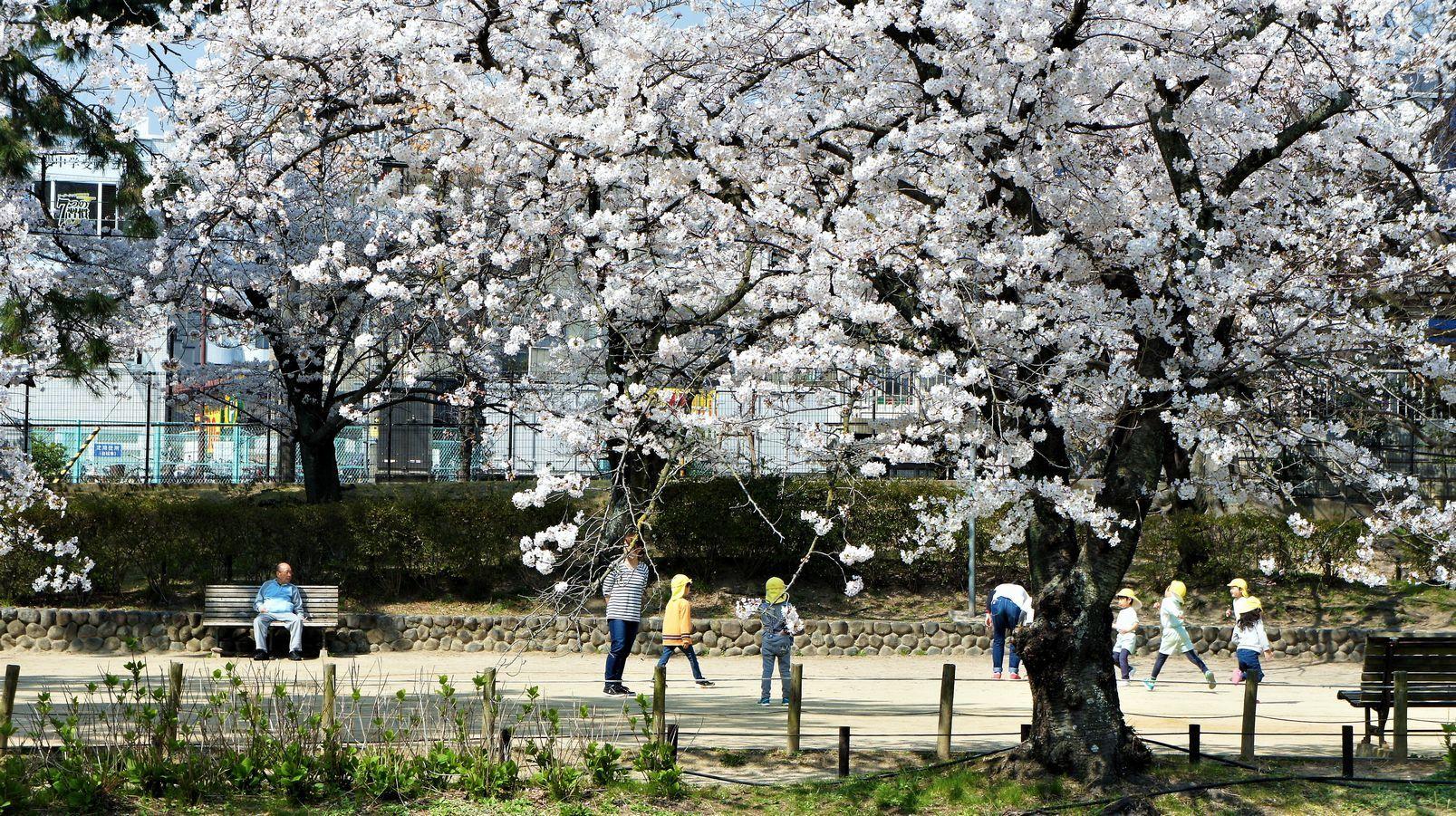 ④満開の桜の下で遊ぶ幼児