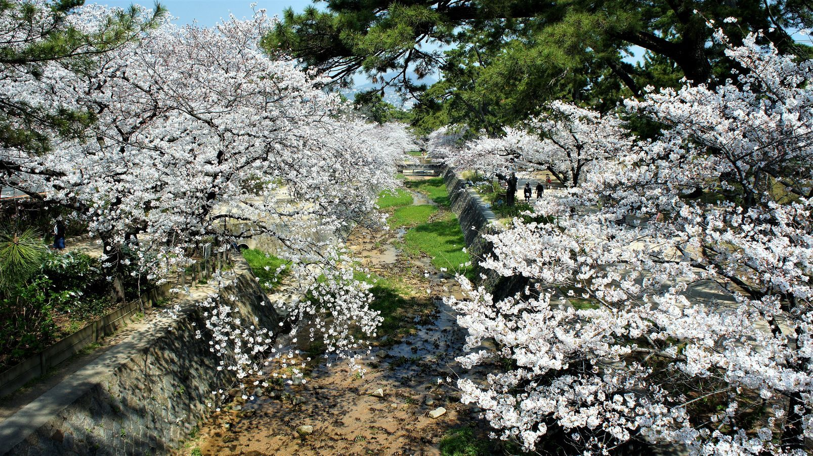 ⑤夙川の堤に咲き乱れる桜たち