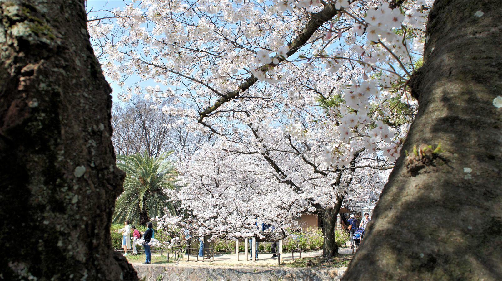 ⑥木越の満開の桜