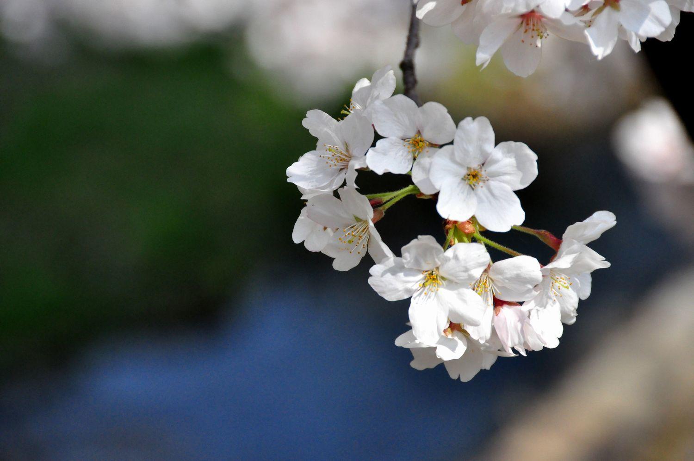 ⑦夙川舞桜の一枝