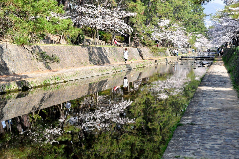 ⑧川面に映える桜と満開の桜