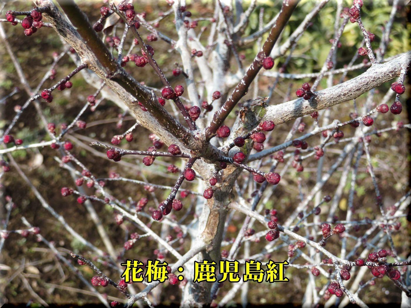 1kagosimabeni180129_022.jpg