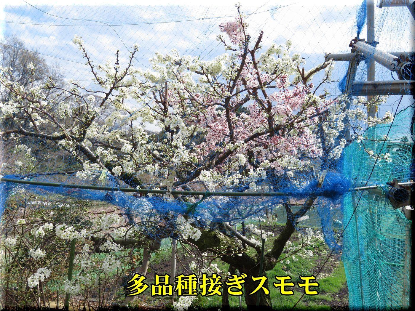 1sumomo180323.jpg