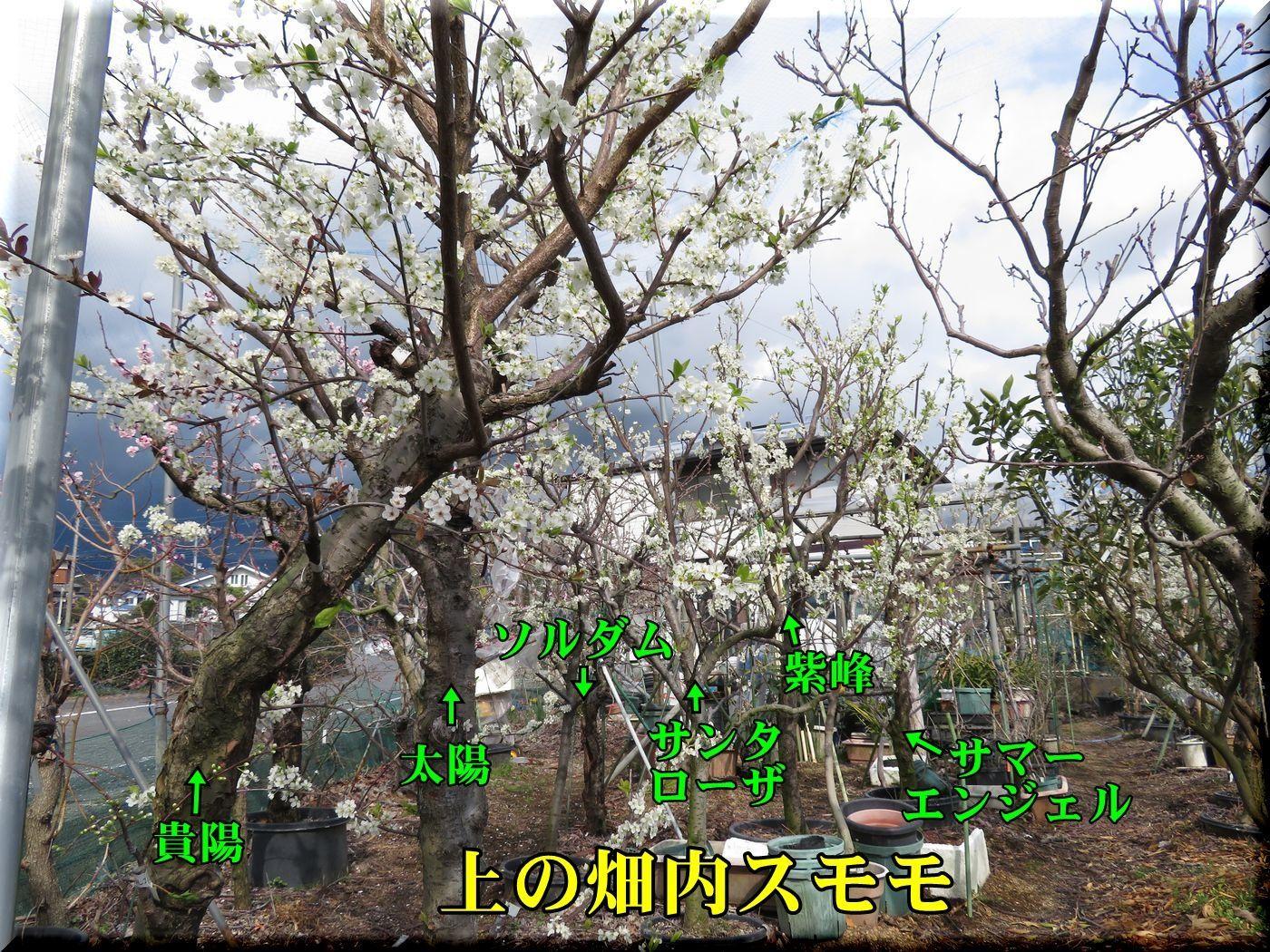 1sumomo180323_021.jpg