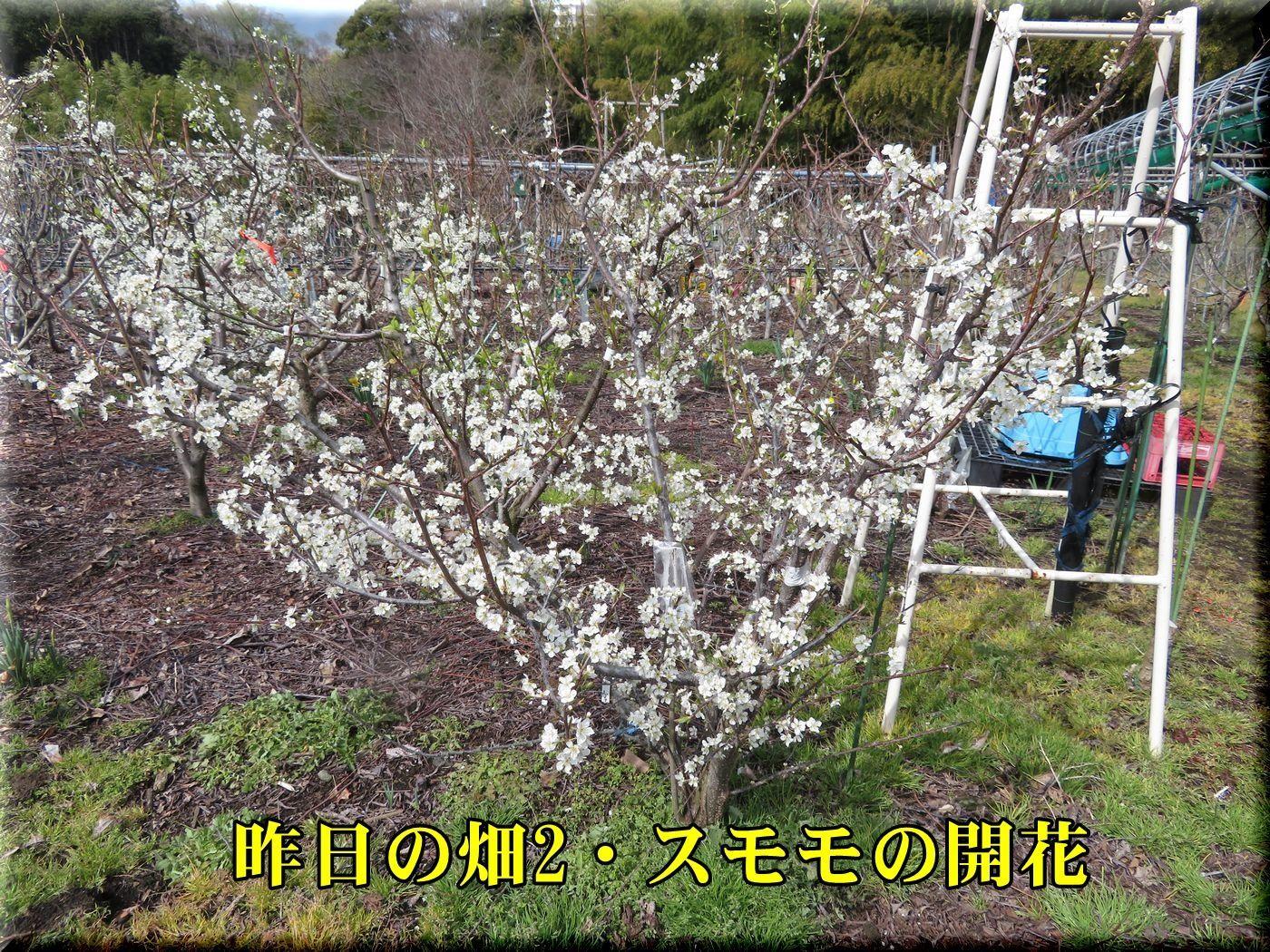 1sumomo180324.jpg