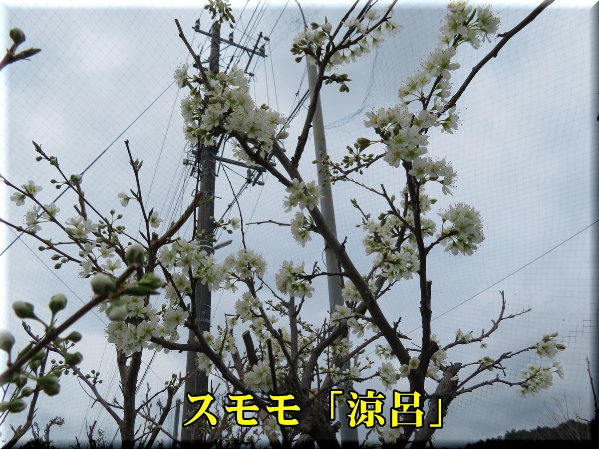 1suzuro180316_012.jpg