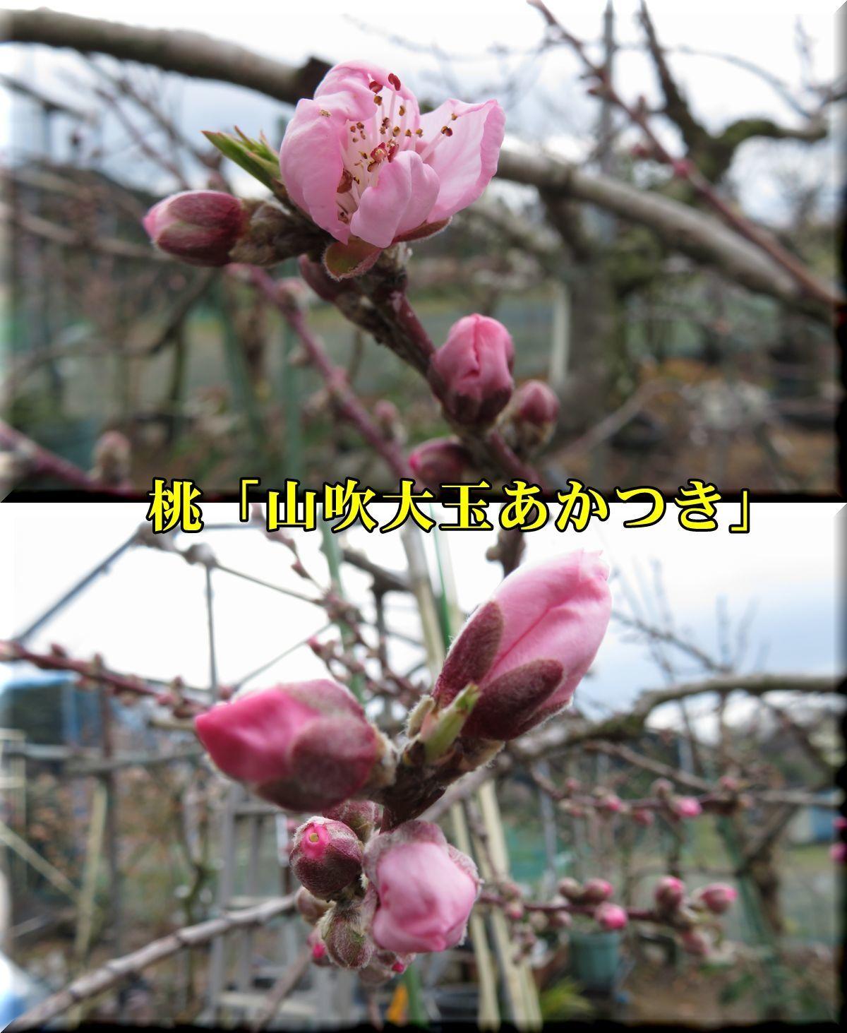 1yamabuki180319_008.jpg