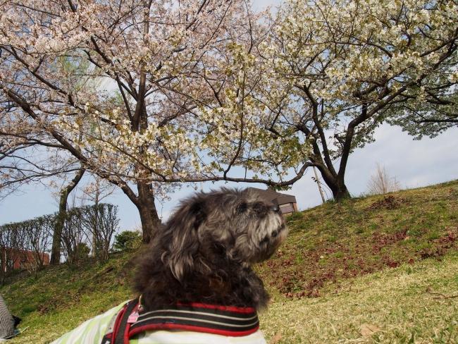 180401鴨川さんぽ⑩桜とふうた