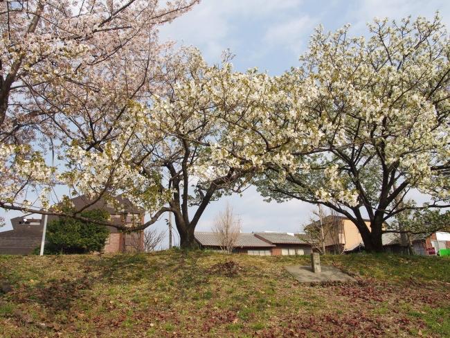 180401鴨川さんぽ⑪桜