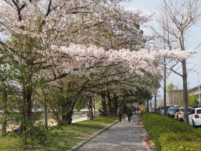 180401鴨川さんぽ②桜並木