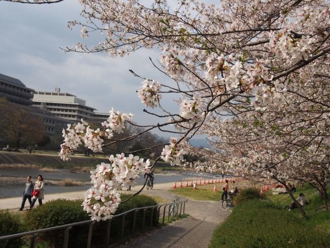 180401鴨川さんぽ④桜