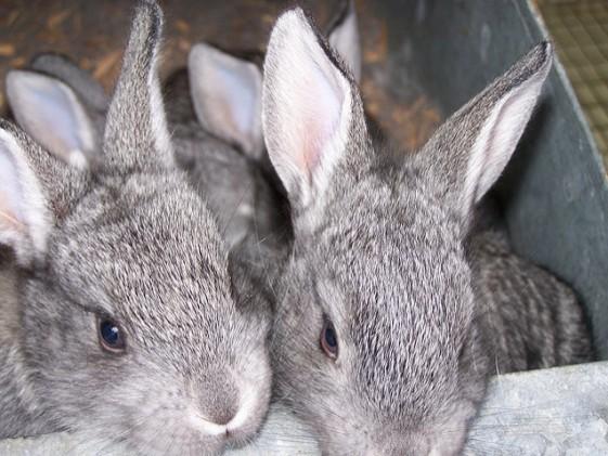 american-chinchilla-rabbit-1-561x421.jpg