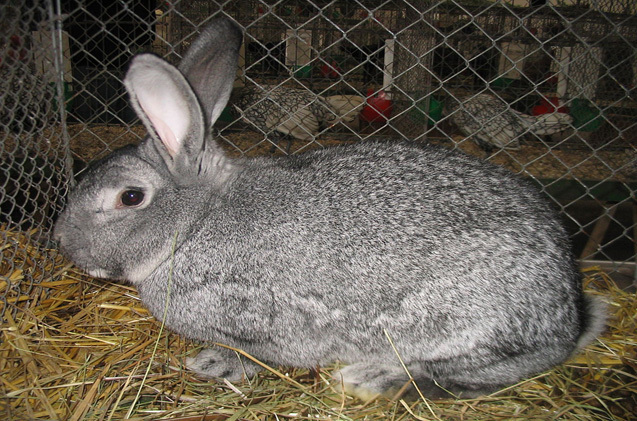 american-chinchilla-rabbit.jpg