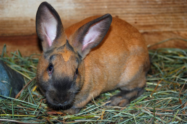 cinnamon-rabbit.jpg