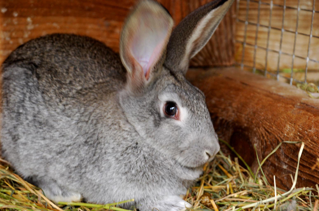 standard-chinchilla-rabbit.jpg