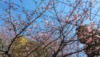 ひなまつり梅