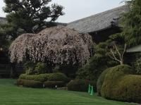 迎賓館明治記念館桜