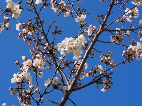 P1010047 桜の花きれい