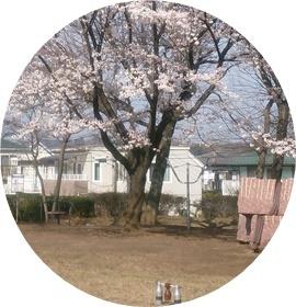 ②木球場の桜