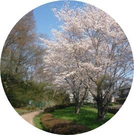 ③緑道と桜