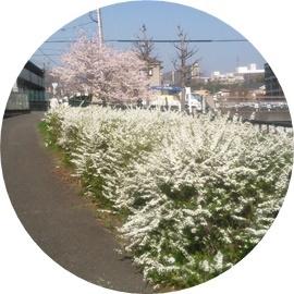 ⑥白い低い花と桜