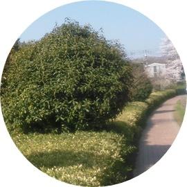 ⑩緑道と刈込植木
