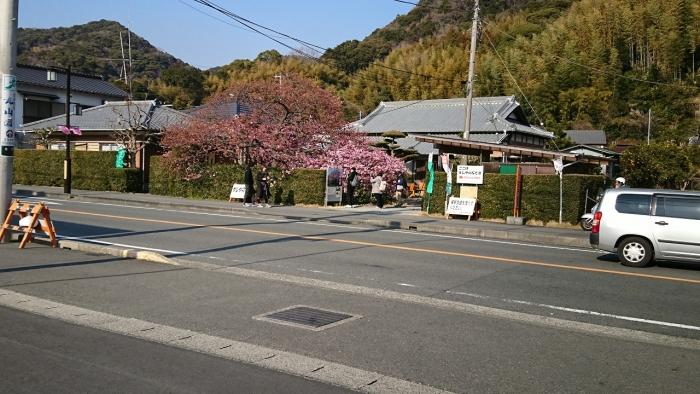 河津桜 (11)