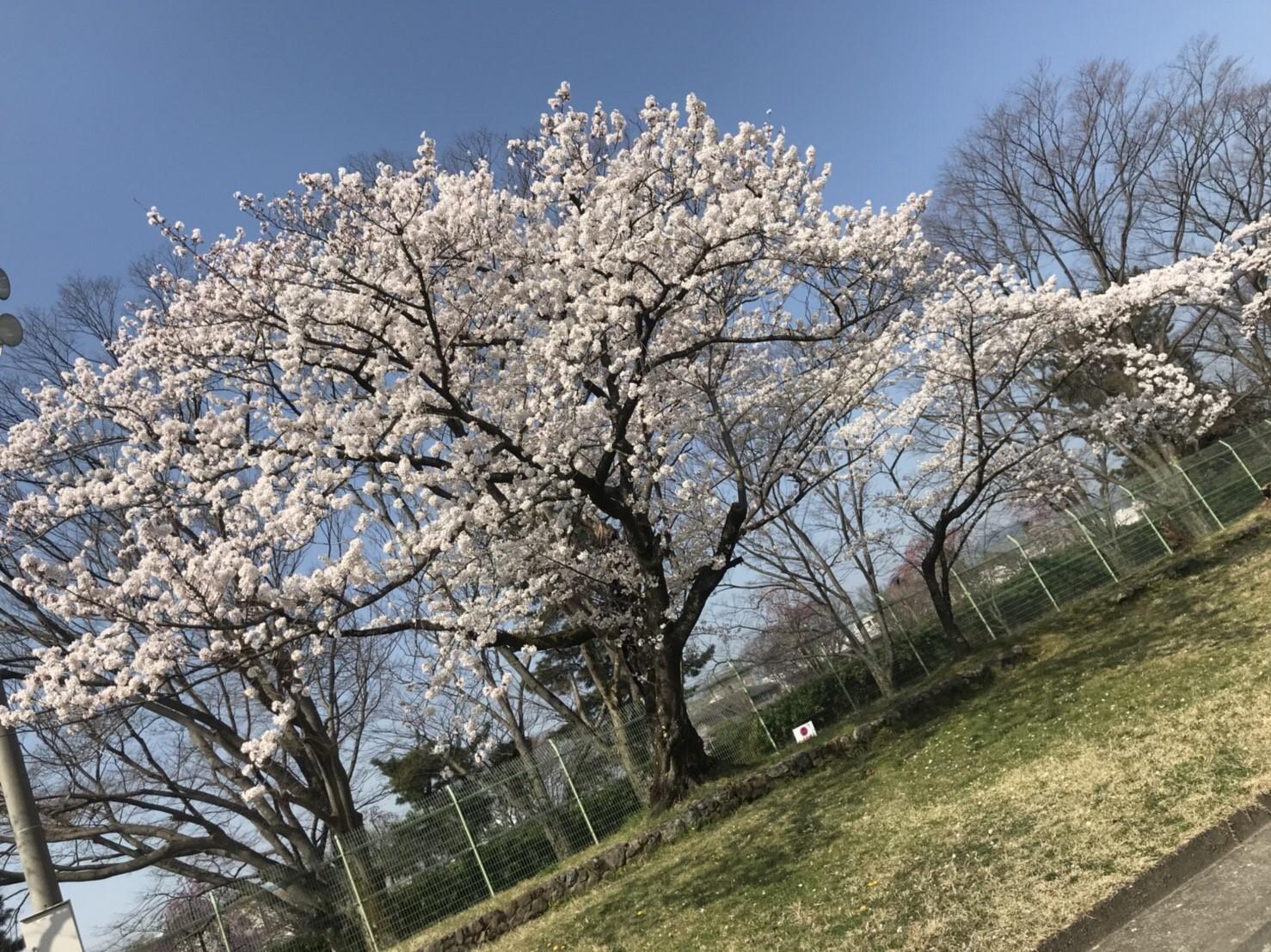 府大 グランド 桜