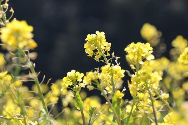 菜の花No3