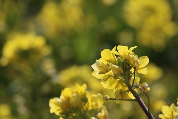 菜の花No2