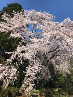 深大寺の桜_06