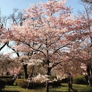 深大寺の桜_04