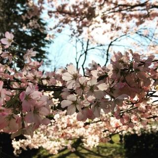 深大寺の桜_05