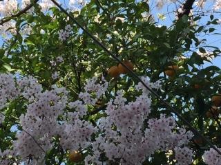 大岡川の桜_09