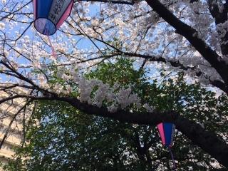 大岡川の桜_10