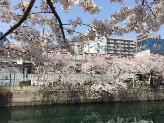 大岡川の桜_02