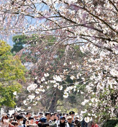 2018都内の桜