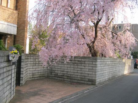 枝垂桜-1