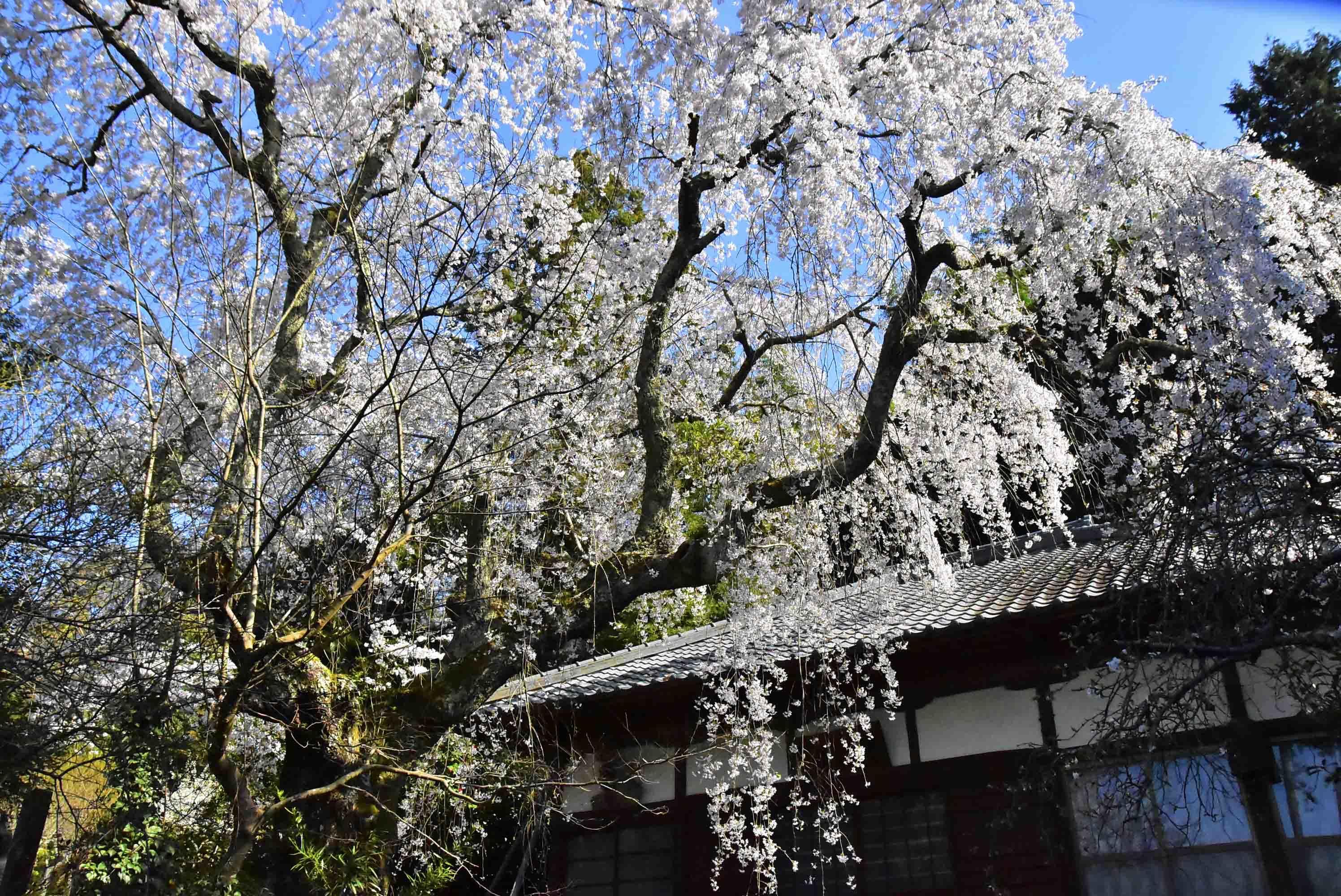 浄念寺の桜