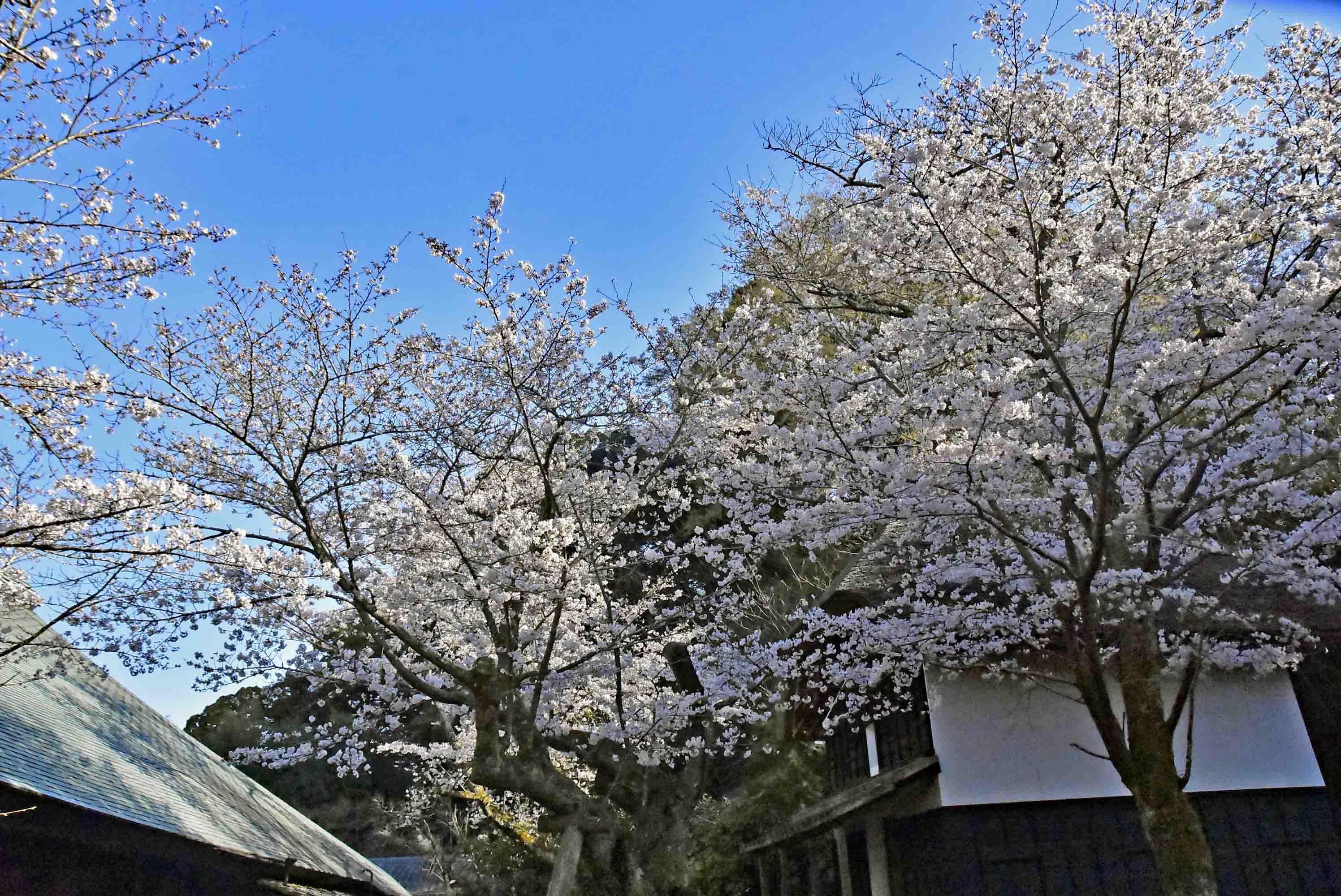 江川邸に咲く桜