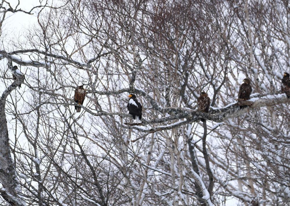 1M6A7697鷲たちの木止まり